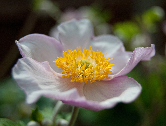 Japanese Anenome