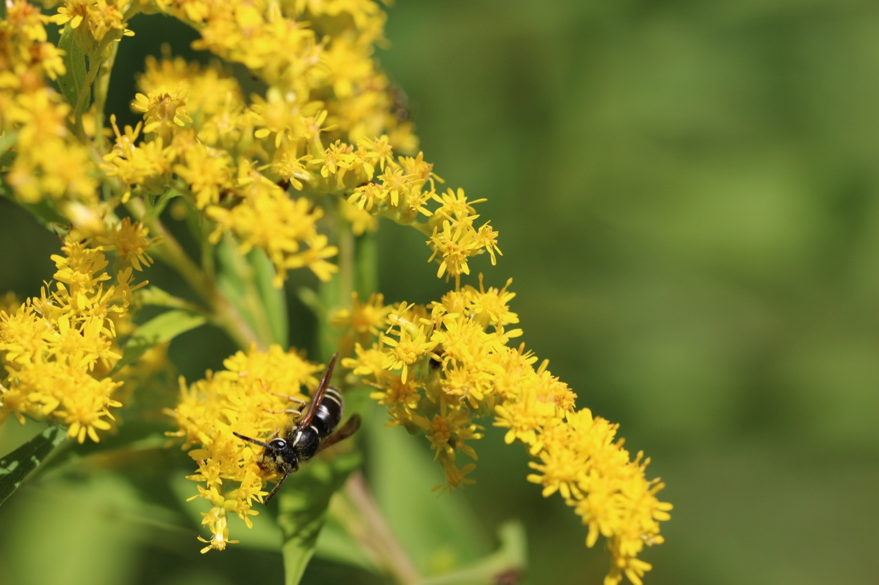 A species of yellow jacket,Vespula consobrina, with pollen clinging to its thorax