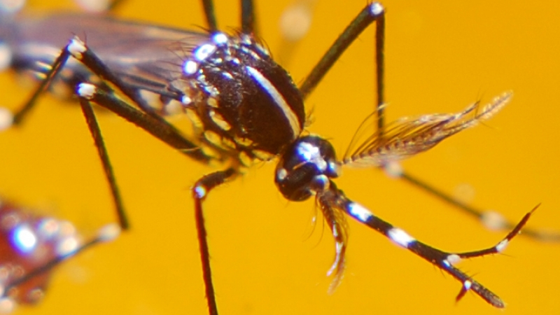Close-up picture of mosquito