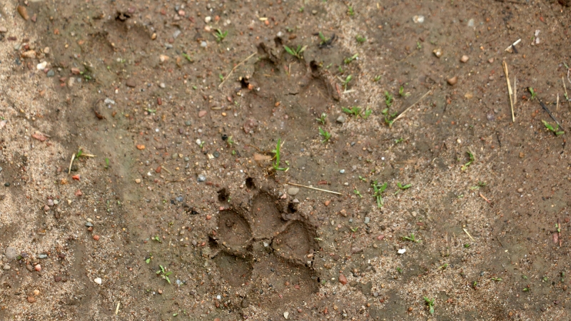 Wolf tracks are seen on Laurie Groskopf's property
