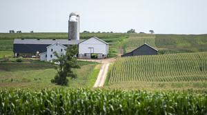A farm with a white exterior can be seen behind rows and rows of green corn stalks.