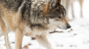 Read full article: Wolf Hunt Will Move Forward After Panel Of Judges Dismisses DNR Appeal