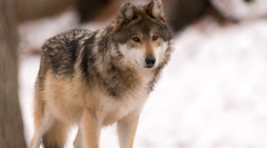 Read full article: Shortened Wolf Hunting And Trapping Season Opens Monday
