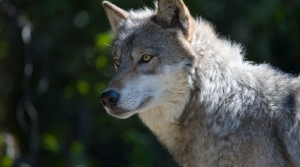 Read full article: Wisconsin DNR Gathering Input On Fall Wolf Hunt, Wolf Management