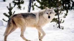 Read full article: DNR To Propose Harvest Quota Of 200 Wolves