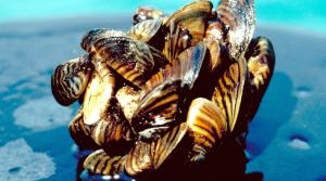 Read full article: Organizations Seek Progress On Recovery From Mussel Invasion