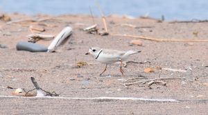 Read full article: 2019 A Record Year For Piping Plover In Wisconsin