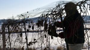 Read full article: Extreme Cold Could Impact Wisconsin Fruit, Alfalfa Crops