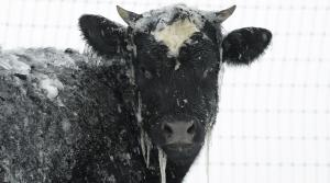 Read full article: Wisconsin Livestock Owners Prepare For Frigid Temperatures