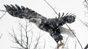 Read full article: COVID-19 Pandemic Prevents Aerial Survey Of Bald Eagles For First Time In Decades