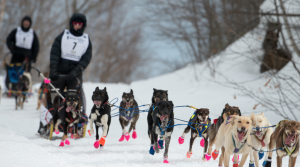 Blair Braverman's dog sled team runs in the snow during the 2019 Iditarod in
