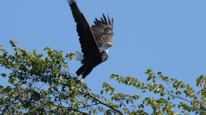 Read full article: Wildlife Groups Host Eagle Viewings In Illinois, Wisconsin