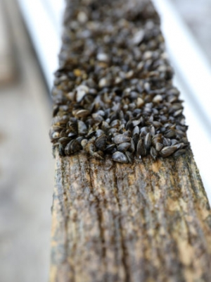 Invasive zebra mussels are seen on wooden pilings