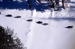 A pack of gray wolves travelsingle file in the snow