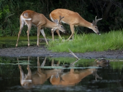 A pair of white-tailed deer bucks