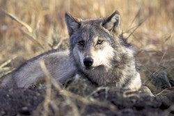 gray wolf in a field