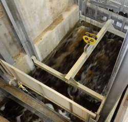 Sturgeon move in an elevator up about 20 feet into a holding tank