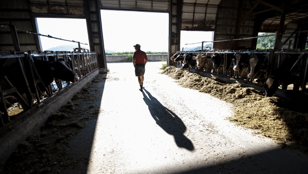 the shadow of a farmer is cast onto the ground of a barn as he walks in between rows of dairy cows