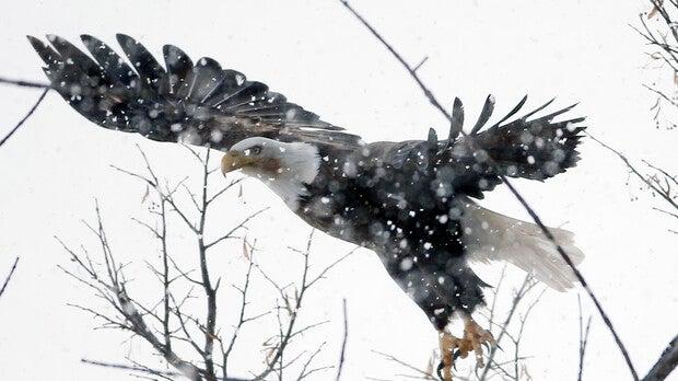 Bald eagle, winter, snow, flight