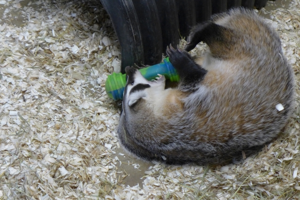 How The Badger Burrowed Into Wisconsin's Identity