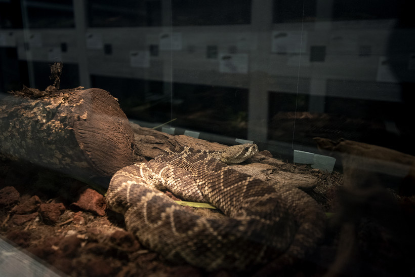 a brown and tan snake is in a dark habitat illuminated by a warm light