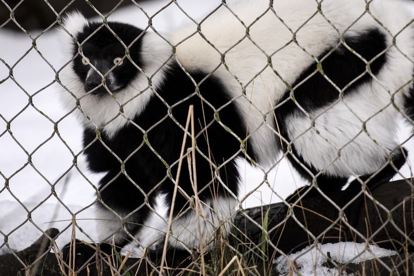 A black and white lemur looks through a wire fence with wide eyes