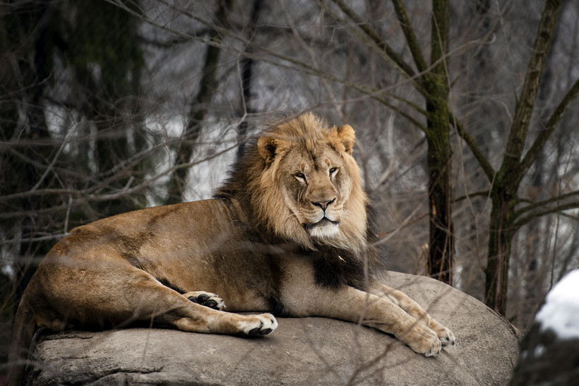 A lion with a mane rests on a rock in an outdoor habitat