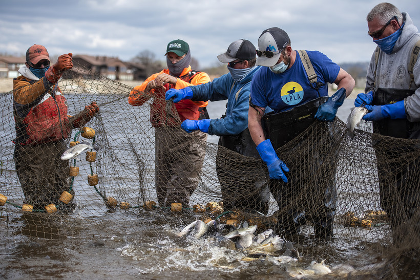 Five workers hold up a net while a mass of fish splash water as they flop around inside the net.