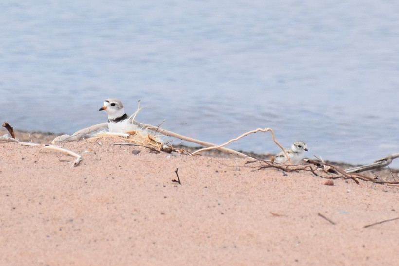 piping plover on Outer Island