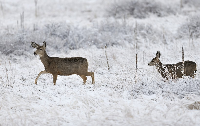 deer forage after a night of fresh snowfall