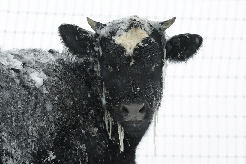 cow in the snow