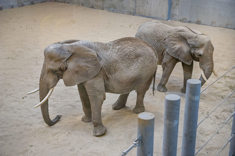 Two new elephants at the Milwaukee County Zoo
