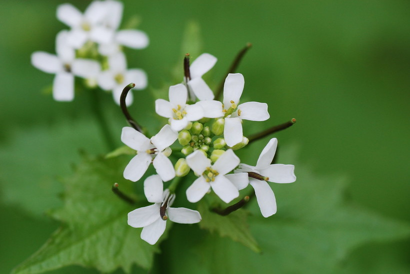 Garlic mustard, invasive species