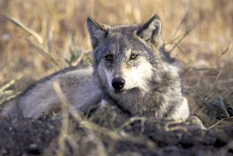 gray wolf in a field