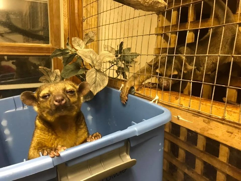 kinkajou, Kingdom Animalia Exotic Animal Rescue