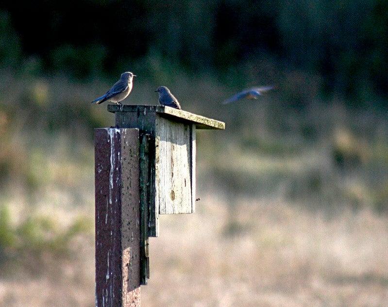 bluebirds on bluebird box