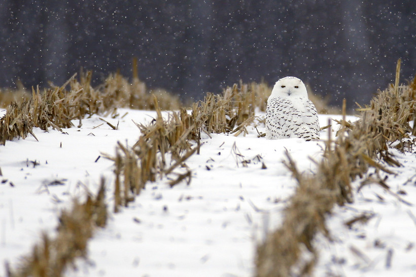 A Snowy Owl sits in the stubble of a corn field as snow falls near Macy, Ind.
