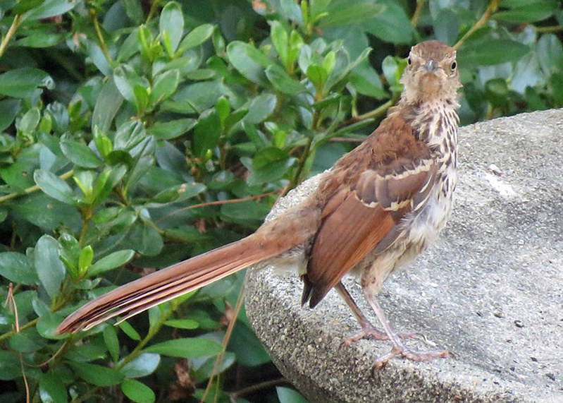 A brown thrasher bird