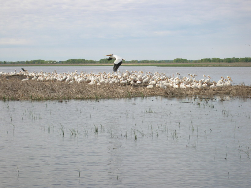 American white pelicans at Horicon National Wildlife Refuge