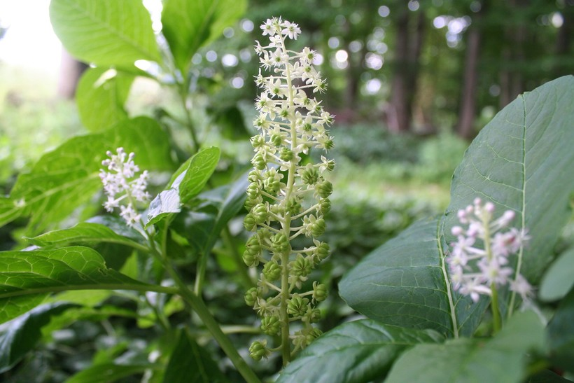 Pokeweed plant up close with white/green flowers