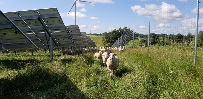 Sheep in Cashton Solar Project