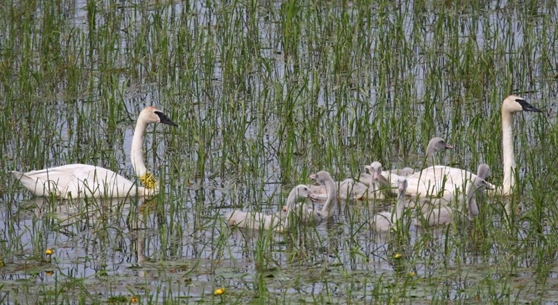 A family of trumpeter swans in Ashland
