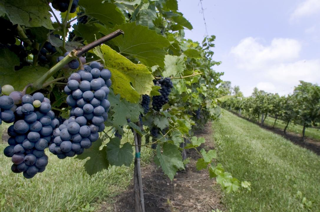 Merechal foch grapes ripen at Botham Vineyards & Winery near Barneveld, Wis